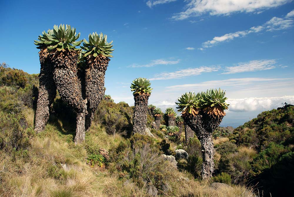 3377350 - trees on the mount kilimanjaro in tanzania
